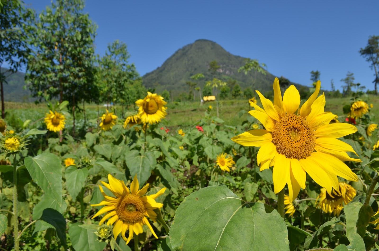 Kebun Bunga Matahari Bekasi