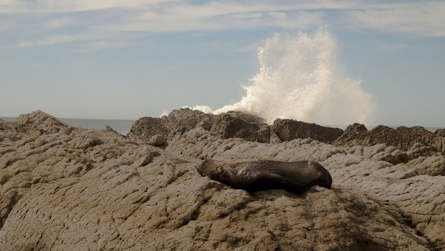 Seal and a crashing wave spotted in Kaikoura on a 2 week road trip in New Zealand