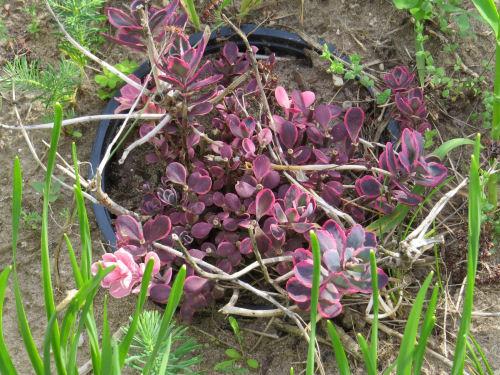 purple hybrid sedum