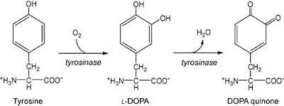 Conversion of tyrosine to dopaquinone