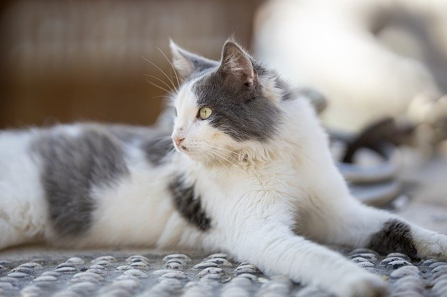 Tips on Training Cats for Harness