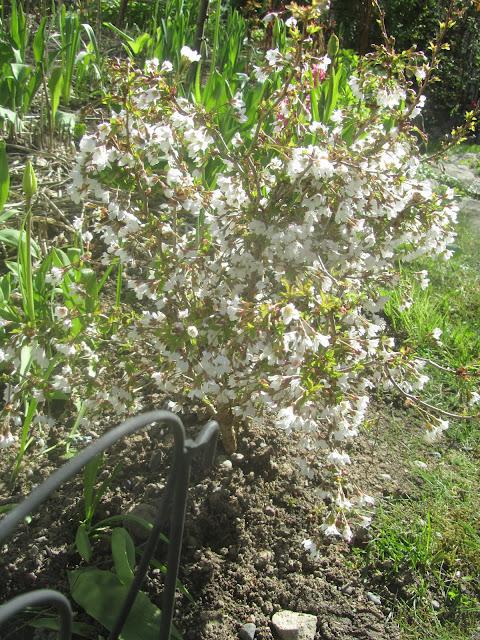 Kuvahaun tulos haulle pikkuinen puutarhani ko-jo-no-mai