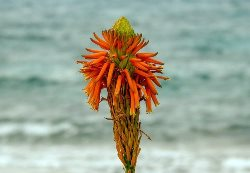Aloe Vera Flower  (एलोवेरा फ्लावर)