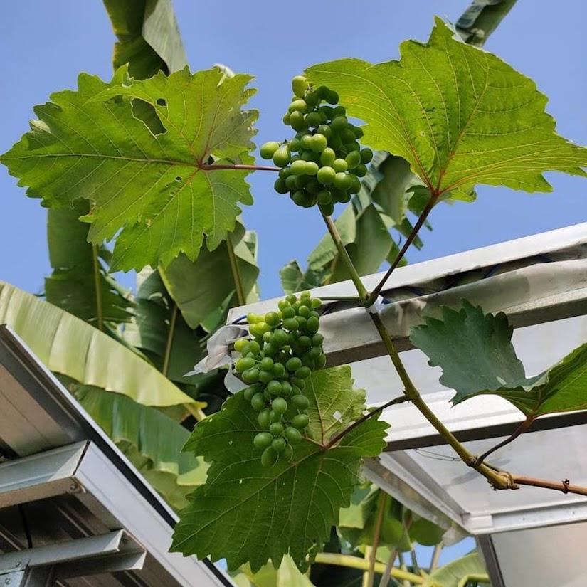 Bibit anggur harold VALID Tebingtinggi