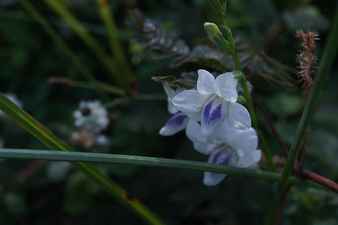 Seputih bunga yang merekah ini