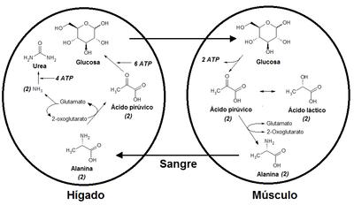 Como se produce acido lactico en el cuerpo