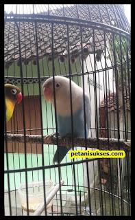 ciri-ciri lovebird jantan over birahi
