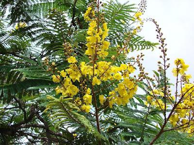 Jual Flamboyan kuning | peltophorum Dubium