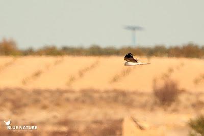 Aquí el macho de aguilucho pálido (Circus cyaneus).