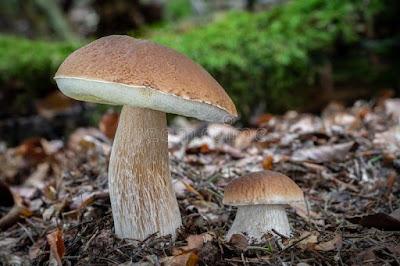 Porcino, Boletus edulis, jenis jenis jamur