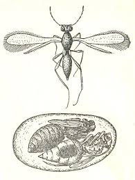 Развитие водного наездника в яйце жука (увеличено) (по Римскому-Корсакову)