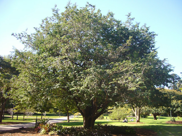 Pohon asam di Brisbane, Australia