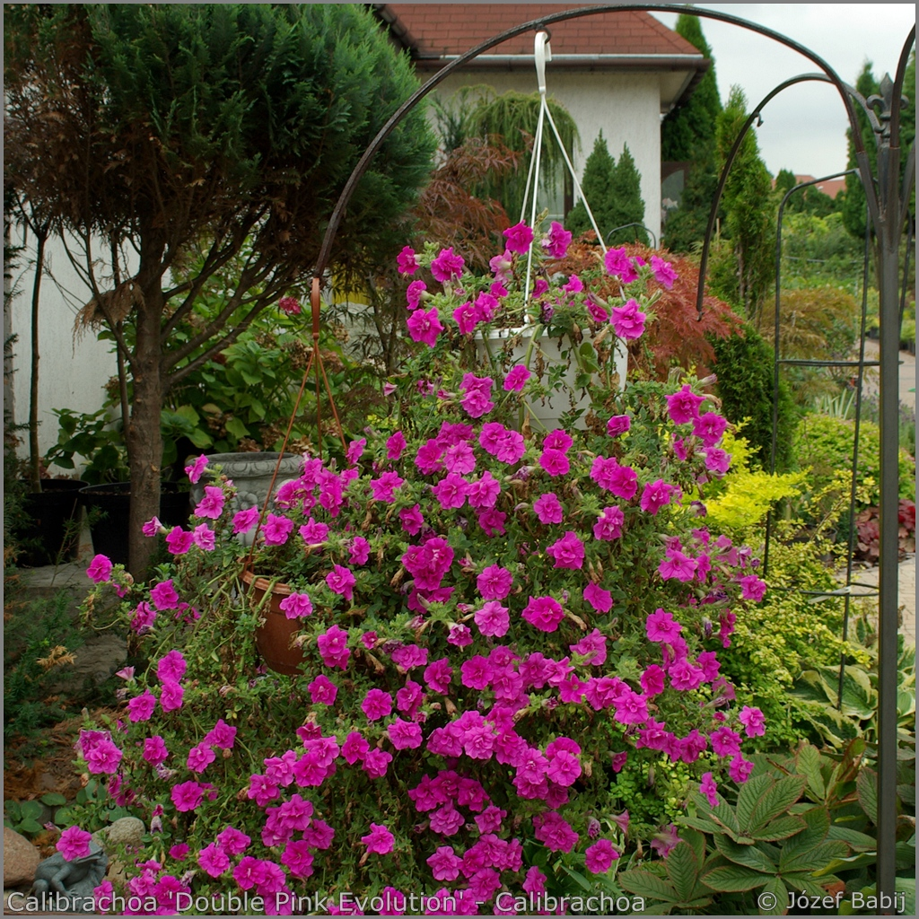 Calibrachoa 'Double Pink Evolution' - Calibrachoa