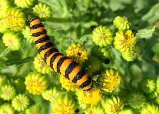 Cinnabar Caterpillar. Nature at High Elms Chalk Grasslands. Kent.