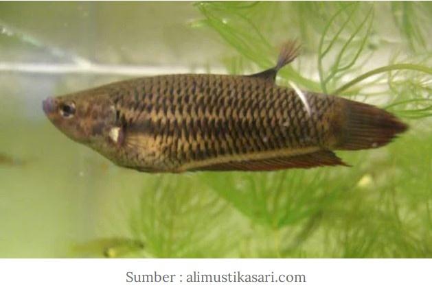 Langka Ikan Cupang Persawahan Dan Harga Masih Tinggi