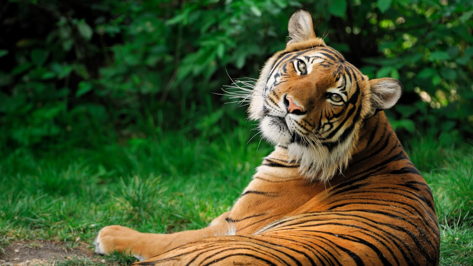 Tiger Hd Wallpaper Download 1080p Free New Wallpapers Hd High Quality Motion