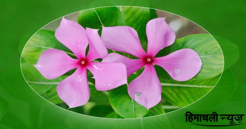 बड़े बड़े रोगों को जड़ से उखाड़ फेंकेगा ये चमत्कारी पौधा वो भी सिर्फ 10 दिनों में