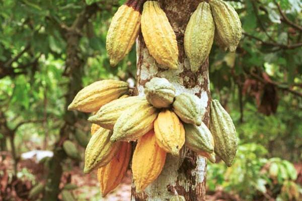 Metode Pengeringan Buah Kakao Paling Bagus