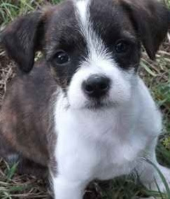 Bossi-Poo (Boston Terrier Poodle mix) Temperament, Size, Lifespan, Adoption