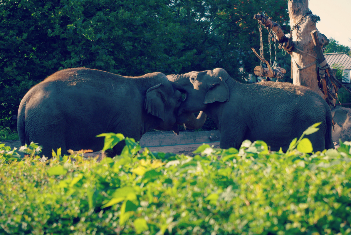 słonie indyjskie