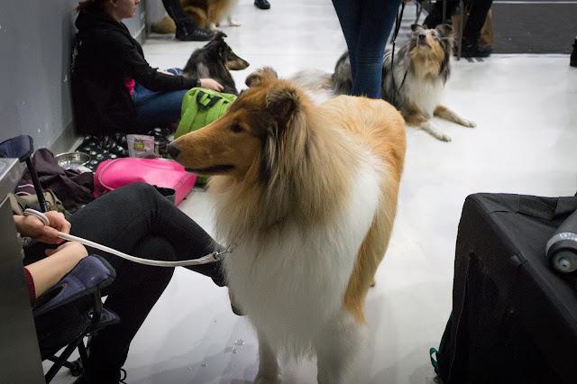 koiranäyttelyt 2017