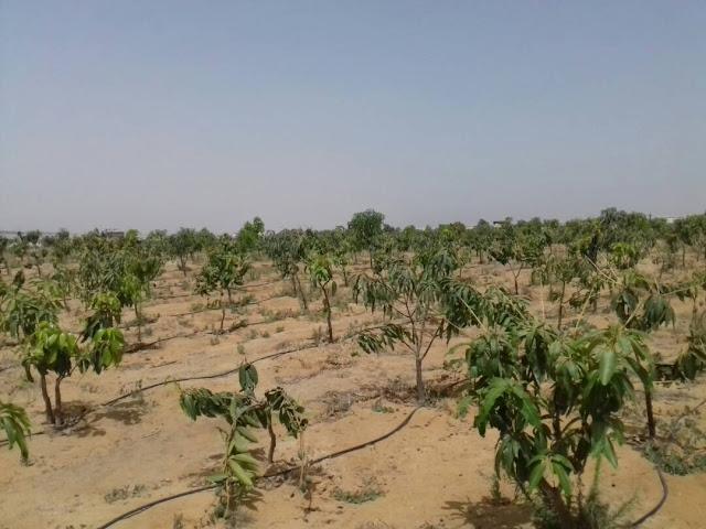 2 فدان للبيع بالريف الاوروبى مزروعة مانجو مثمرة