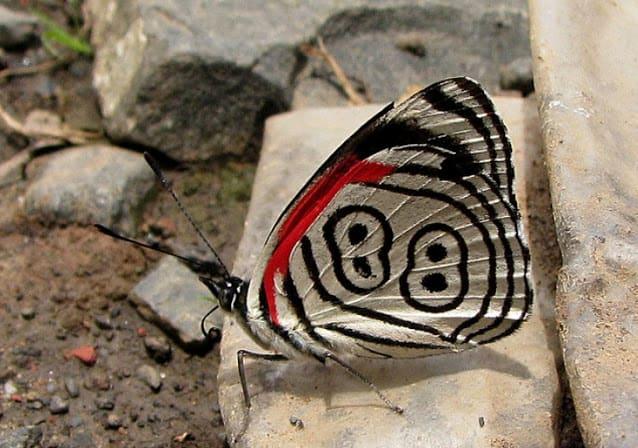 Borboleta 88 (Em Extinção)