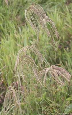 Cloris (Eustachys distichophylla)