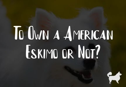 To Own a American Eskimo or Not?