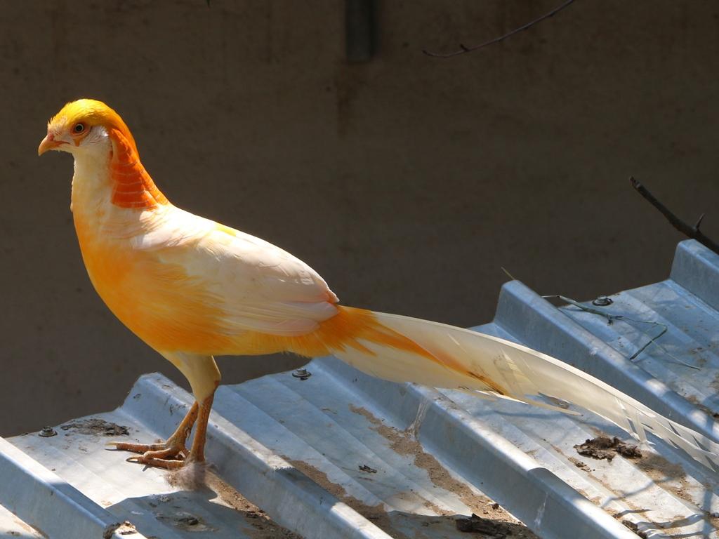 Золотой красный фазан Peach%2BYellow%2BGolden%2BPheasant%2B-%2B3