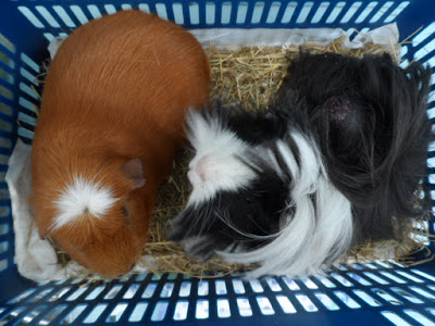 Glynneath Guinea Pig Rescue and Boarding 01639 721127 10am