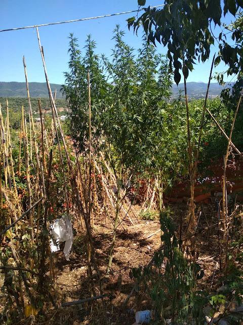 Άρτα: 53χρονος Σε Χωριό Της Άρτας Καλλιεργούσε Ναρκωτικά