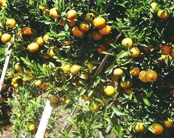 cara menanam jeruk keprok yang baik dan benar, mulai perawatan sampai berbuah dan panen
