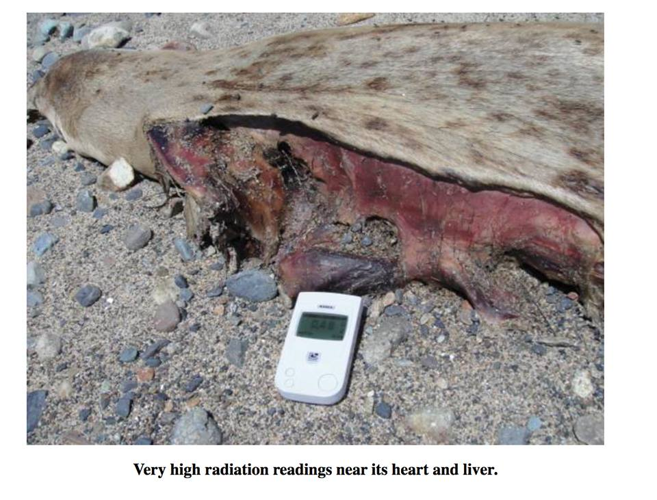 Fukushima Radiation Measured In Seals, Radiation Causing ...