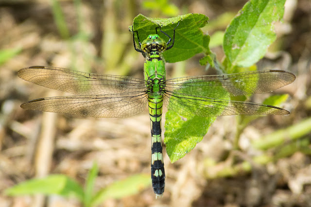 Female Eastern Pondhawk, John Bunker Sands Wetland Center