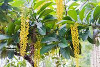 Gelbe Blütentrauben. Urban Orchard Park, Malaysia. www.WELTREISE.tv
