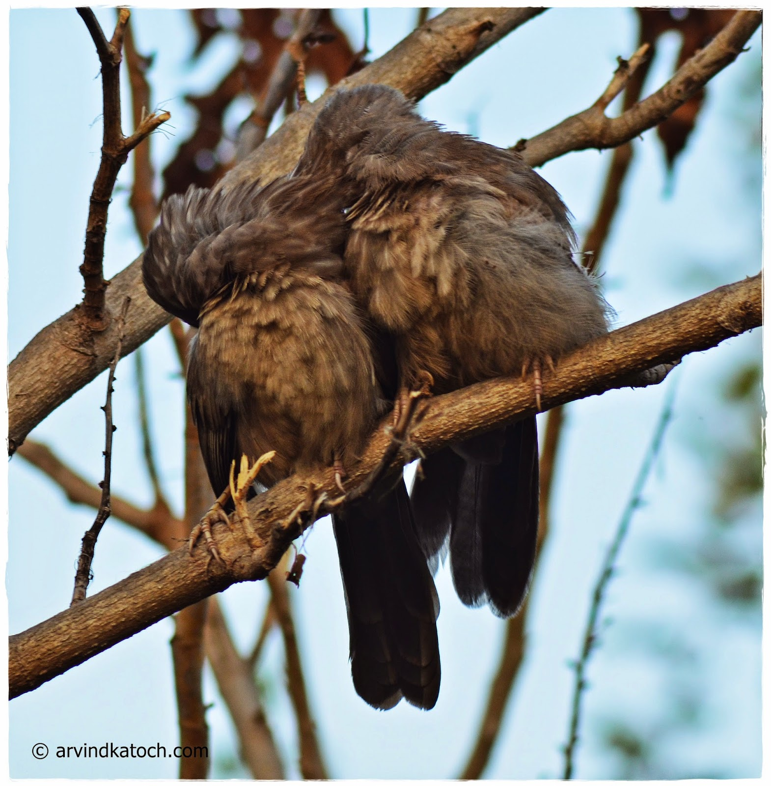 Jungle Babblers,