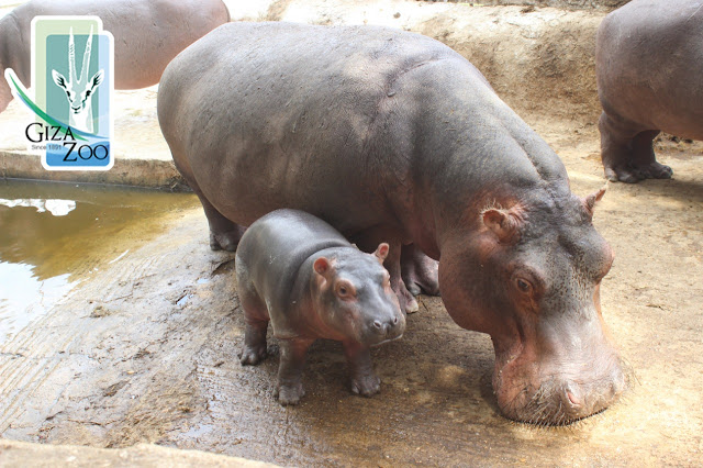 Giza Zoo' new baby hippo that was born in October