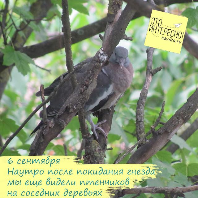 выросший птенец витютеня