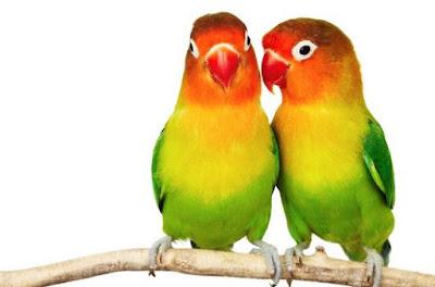 Foto Sepasang Burung Love Bird Jantan Betina Bulu Bagus Suara Indah