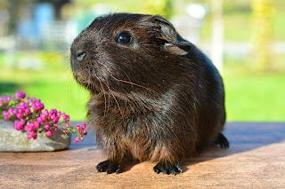Dark Brown Guinea Pig sitting on a table beside flowers