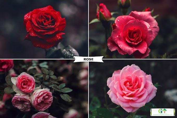 Rose Photoshop Action 4974092