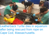 https://sciencythoughts.blogspot.com/2018/11/leatherback-turtle-dies-in-aquarium.html