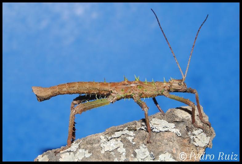 Ninfa macho L4 de Haaniella grayii, 6,3 cm de longitud