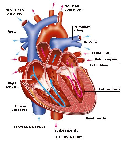 Humans have a closed circulatory system This means that the blood is always contained in tubes and vessels.
