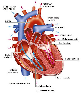 The heart is caused to beat regularly by a structure called the Sinoatrial Node (S - A node) or the PACEMAKER.