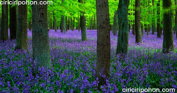 ciri ciri pohon blue bells