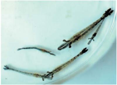 Penyakit Virus Pada Ikan : Monodon Baculo Virus (MBV) atau Spherical baculovirosis
