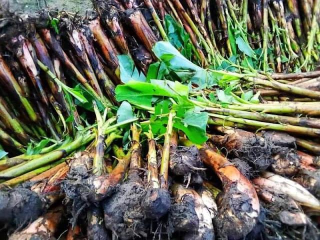 "Alt: = ""photo showing heap of plantain cultivars"