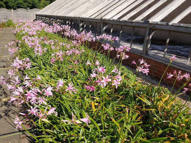 Mass planting of nerines outside the glasshouse at Exbury gardens